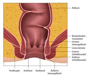Das arteriovenoese Gefässpolster